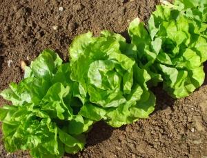 lettuce-1307757-m